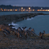 Oamaru Blue Penguin Colony - image supplied by Tourism Waitaki